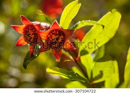 Branch with pomegranate blossoms - stock photo