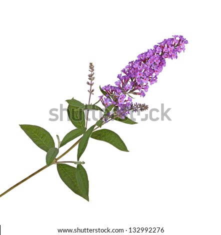 Branch with purple flowers of a butterfly bush (Buddleja davidii) isolated against a white background