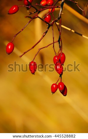 branch with ripe fruits of wild rose. autumn natural background, bright red rose hips  - stock photo