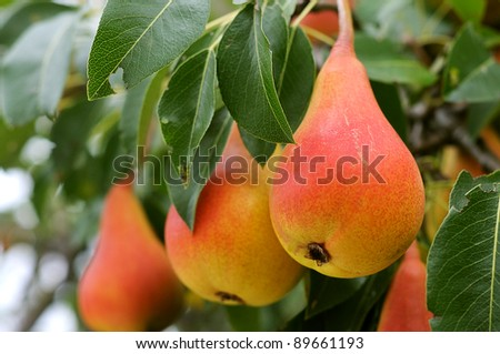 Branch with ripe juicy pears. Pear tree. Pears and leaves. - stock photo