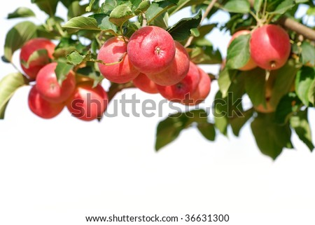 Branch with ripe red apples isolated on the white. - stock photo