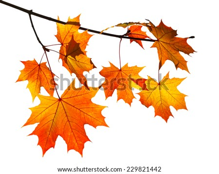 branch with yellow and orange autumn maple leaves isolated on white background - stock photo