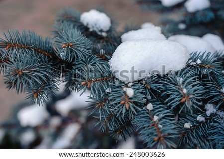 branches of a blue spruce in the snow