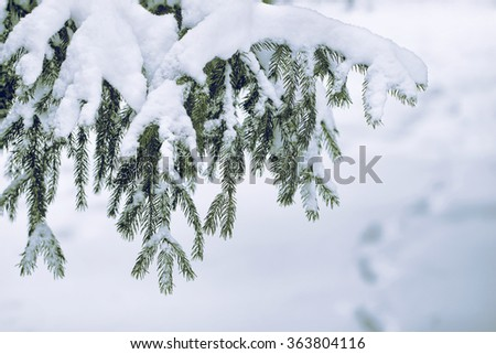 branches of a Christmas tree covered with snow natural spruce winter background with traces - stock photo