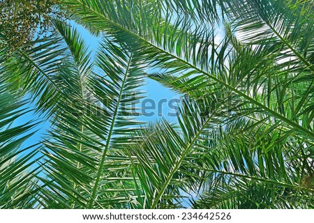 Branches of a coconut tree on background sky. - stock photo