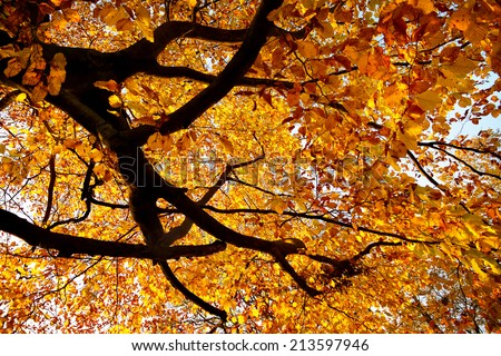 Branches of a large beech tree in vivid autumnal golden colour - stock photo