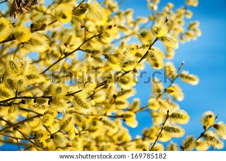 branches of a willow blossom in the spring against the blue sky - stock photo
