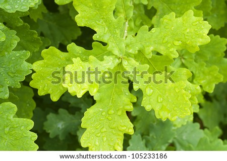 Branches of a young oak. Nature composition. - stock photo