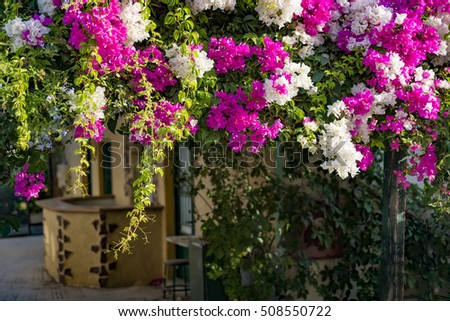 Branches of beautiful pink and white bougainvillea flowers in a mediterranean environment