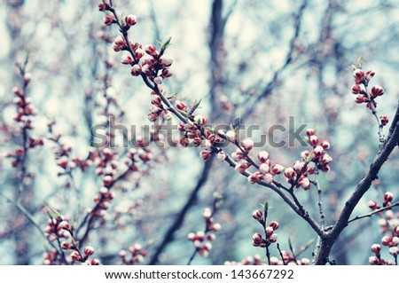 branches of cherry blossoms in the spring garden - stock photo
