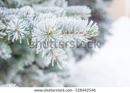 Branches of fir trees in the snow