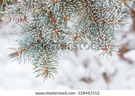 Branches of fir trees in the snow. Frozen pine