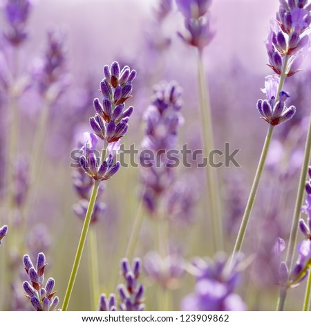 Branches of flowering lavender. Can be used as background - stock photo