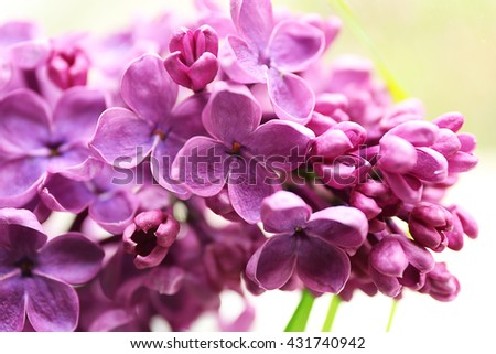 Branches of fresh lilac, closeup