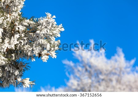 Branches of frozen icy conifer tree with white winter treetops in background in front of the blue cloudless sky (copy space)/Twigs Full of Snow - stock photo