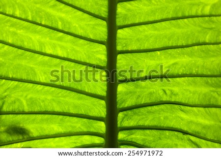 Branches of leaves. With large leaves, branches, leaves, spread out. - stock photo
