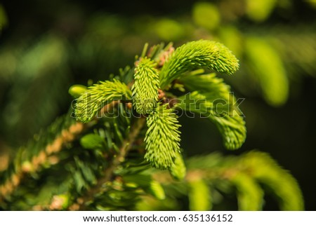 Branches of pine tree needles with soft green .