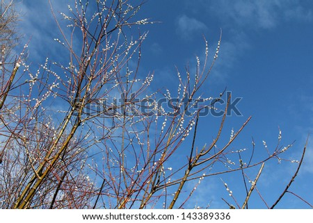Branches of Pussy Willow Trees on spring sky background - stock photo