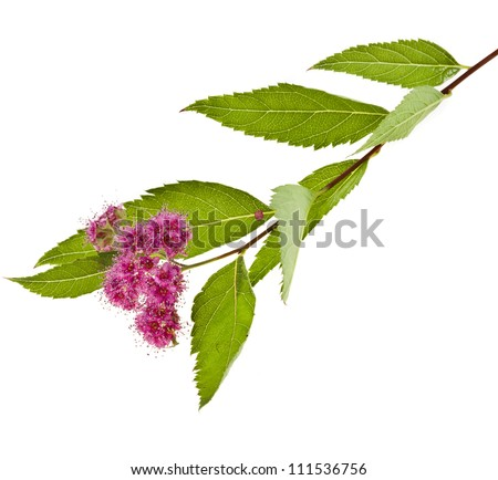 Branches of Shrubs Spiraea  with fluffy pink flowers  isolated on white background - stock photo