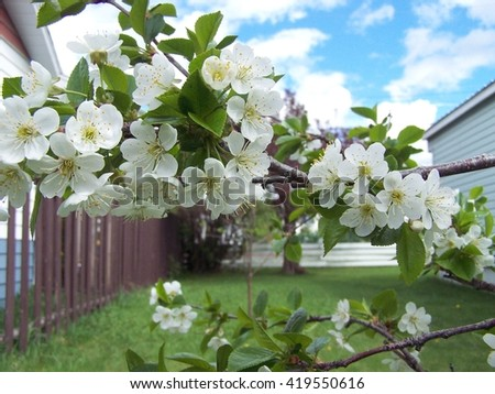 Branches of the Cherry tree - stock photo