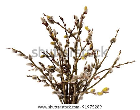 Branches of the pussy willow with flowering bud in vase with water on white background - stock photo