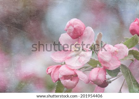 Branches with beautiful pink apple flowers bloom in spring - stock photo