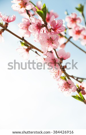 Branches with beautiful pink flowers (Peach) against the blue sky. Selective Focus.