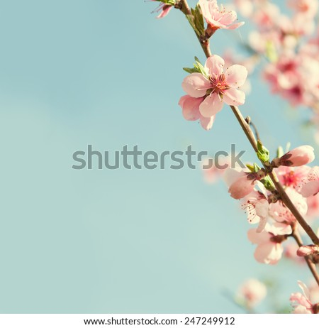 Branches with beautiful pink flowers (Peach) against the blue sky. Selective Focus. Toned image. - stock photo