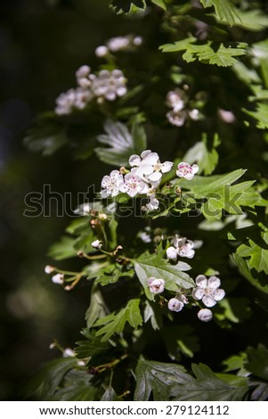 branches with green leaves and white flower blooming - stock photo