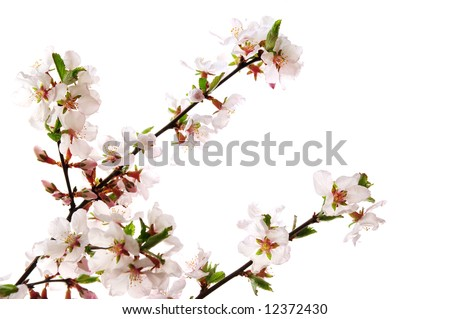 Branches with pink cherry blossoms isolated on white background