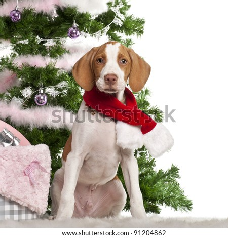 Braque Saint-Germain puppy, 3 months old, sitting with Christmas tree and gifts in front of white background