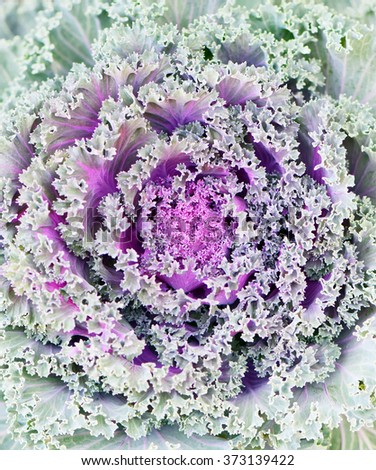 Brassica Hybrid flower close up  - stock photo