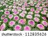 Brassica Oleracea Ornamental Cabbage Biennial Summer Flower Plant - stock photo