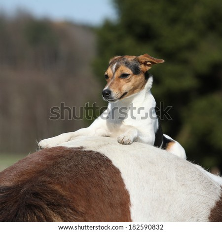 Brave Parson Russell terrier lying alone on horse back - stock photo