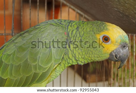 Brazilian green and yellow parrot in close picture