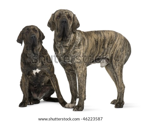 Brazilian Mastiff or Fila Brasileiro dog, 19 months old, in front of white background - stock photo