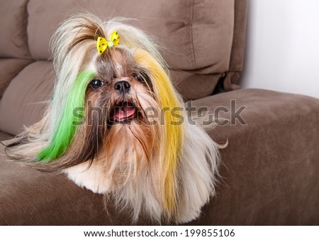 Brazilian soccer fan or supporter dog with the hair painted in yellow and green for the championship or competition or cup.
