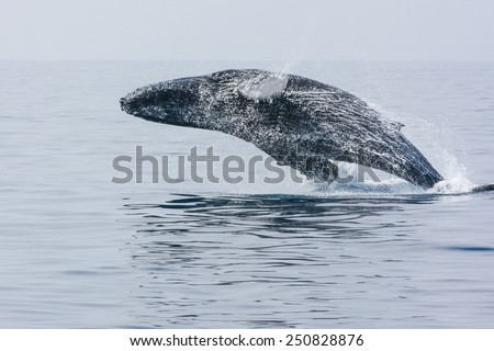 Breaching Hump Back Whale off the coast of Honolulu. Hawaii. motion blur - stock photo