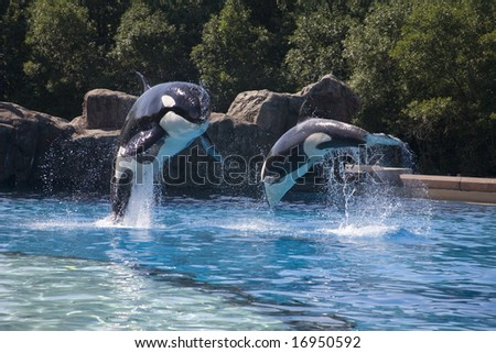 breaching whales - stock photo