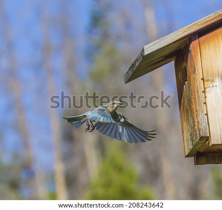 Breakfast Bug - A female mountain bluebird delivers a cricket to a nest full of hungry bluebird chicks. Dillon, Colorado - stock photo