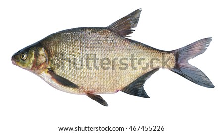 Bream ( Abramis brama ) on a white background . Adult female before spawning