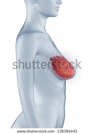 Breast position anatomy woman isolated
