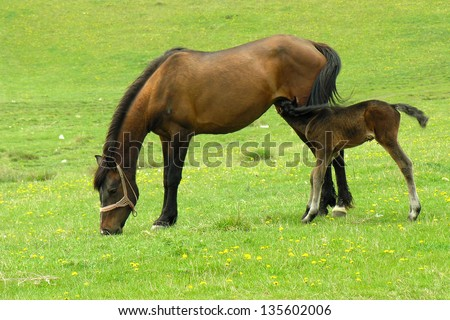 breastfeeding colt - stock photo