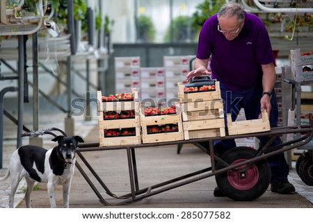 BREDA, NETHERLANDS - MAY 19: Man working in a greenhouse in Breda, Netherlands, while people are picking, harvesting them, on May 19, 2015, in Breda, Netherlands - stock photo