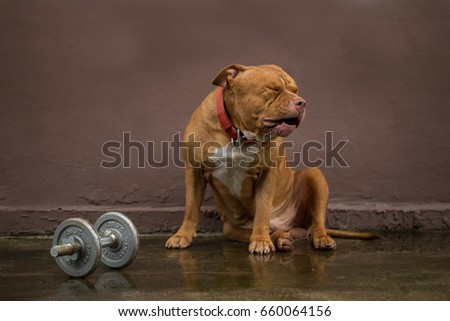 Breed American Bully dog with dumbbell.