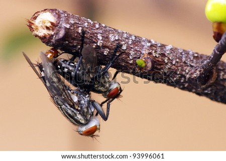 Breed Fly - stock photo
