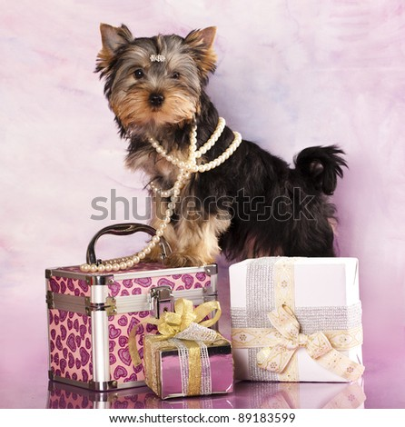 breed Yorkshire Terrier and gifts - stock photo