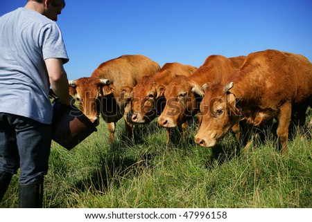 Breeder feeding cattle