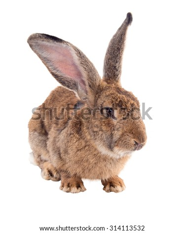 "Breeding adult rabbits ""Giant""Isolated on white background. A series of images"
