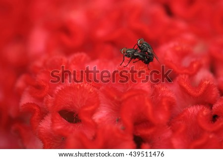 Breeding flies on the red flower - stock photo